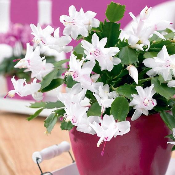 Christmas Cactus Schlumbergia White