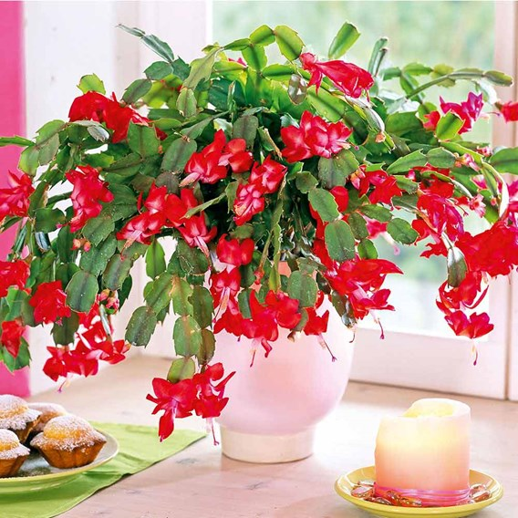 Christmas Cactus Red
