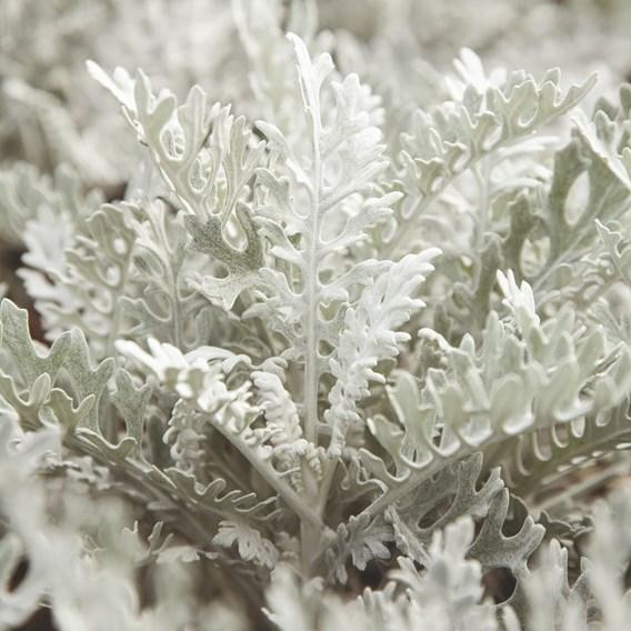 Cineraria maritima Seeds - Silver Dust