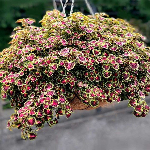 Coleus Great Falls Angel (6)