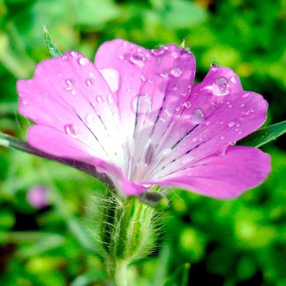 Wildlife Garden Seeds - Corncockle