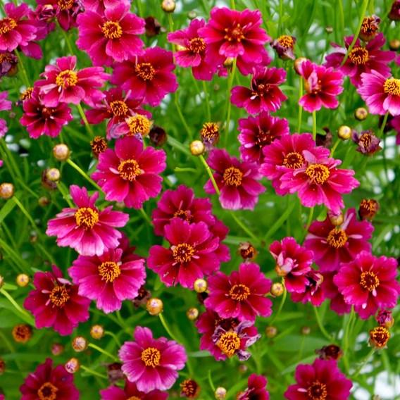 Coreopsis Plant - Purple