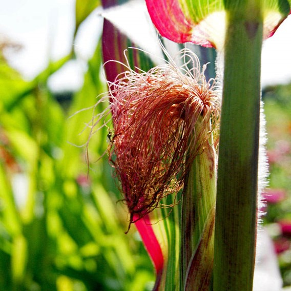 Prairie Seeds - Ornamental Corn Japonica