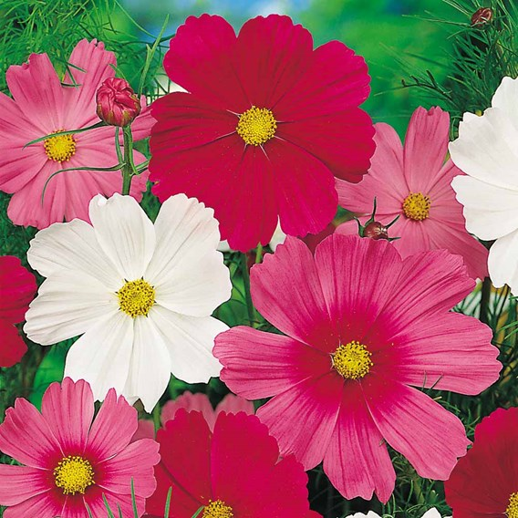 Cosmea Seeds - Sensation Tall Mix