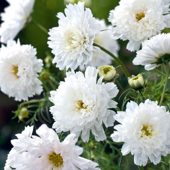 Cosmea Seeds - White Knight