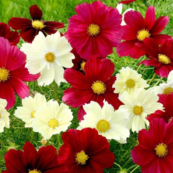 Cosmea Seeds - Rubies in Sunshine