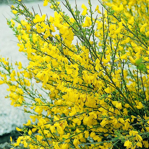Cytisus   All Gold