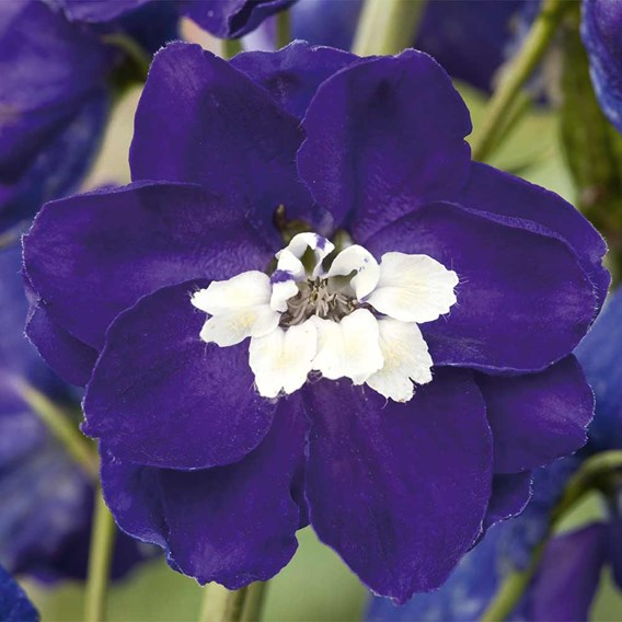 Delphinium Plant - Dark Blue White Bee