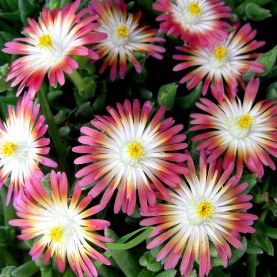 Delosperma Plant - Jewel of the Desert Ruby