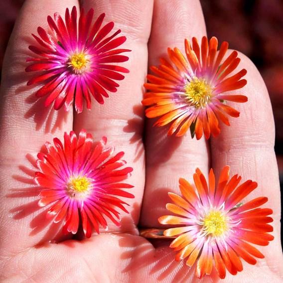 Delosperma Plants - Jewel of the Desert Sunstone