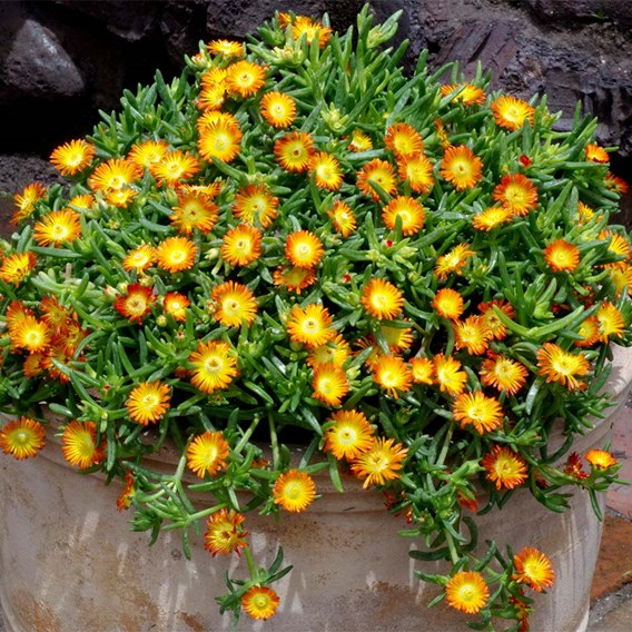 Delosperma Plant - Wheels Of Wonder Orange 2Ltr