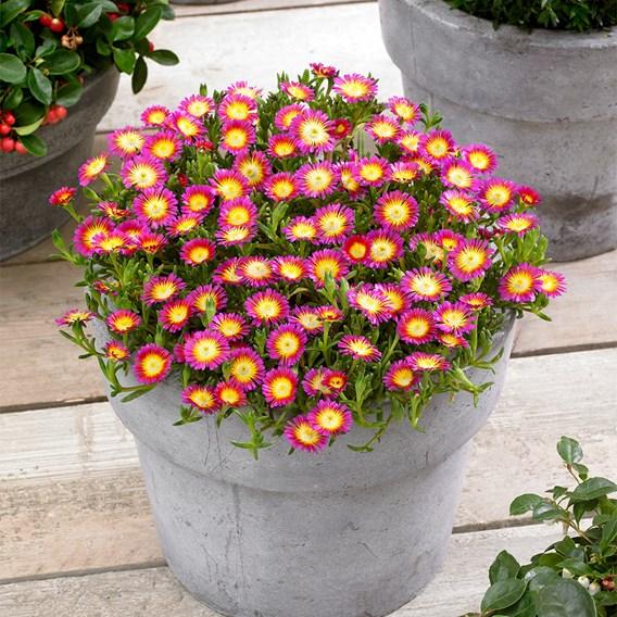 Delosperma Plant - Wheels Of Wonder Hot Pink 2Ltr