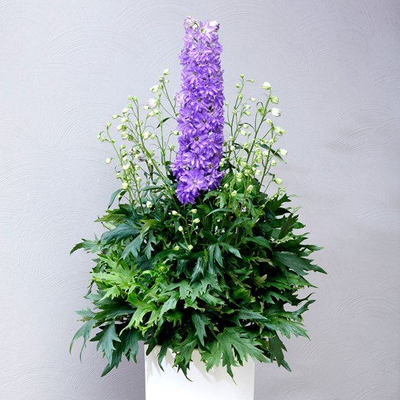 Delphinium Delgenius Breezin Plants