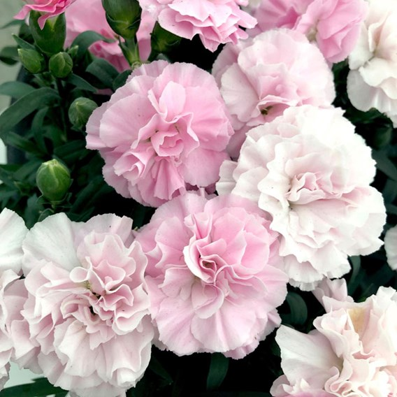 Dianthus Pink to White (6)