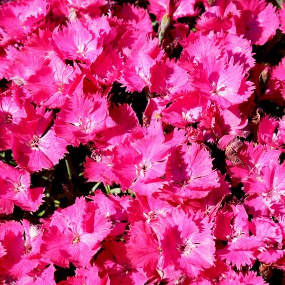 Dianthus Vivid Bright Light (3)