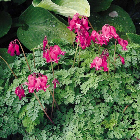 Dicentra Plants - King of Hearts