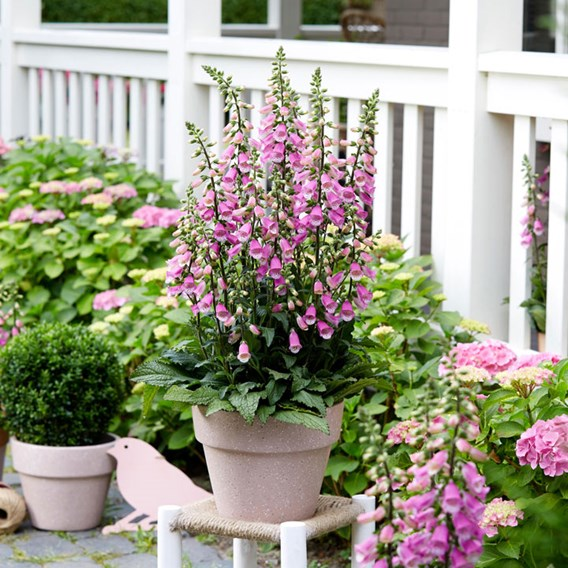 Digitalis Pink Panther Potted Plants
