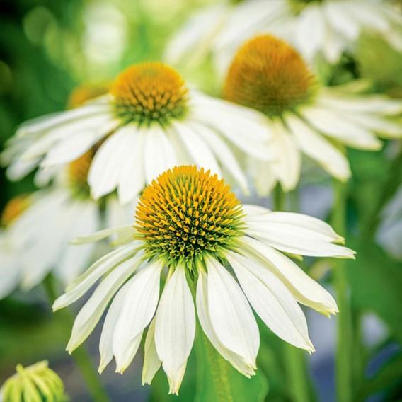 Echinacea Seeds - Sundress