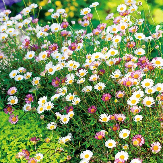 Erigeron Plant - Sea of Blossom