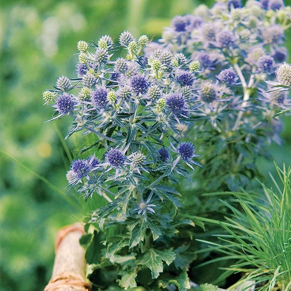 Eryngium Plants - Blue Hobbit