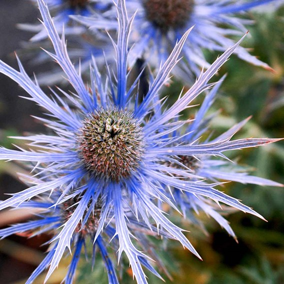 Eryngium alpinum Seeds - Blue Ice