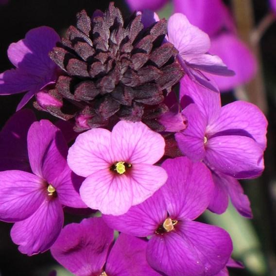 Erysimum Plant - Bowles Mauve