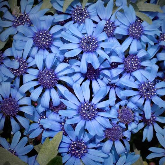 Felicia Seeds - Pretty Blue