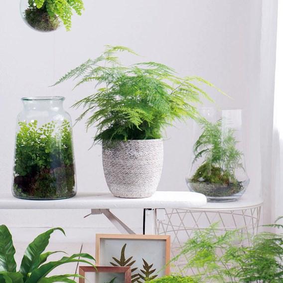 Houseplant Seeds - Asparagus Fern