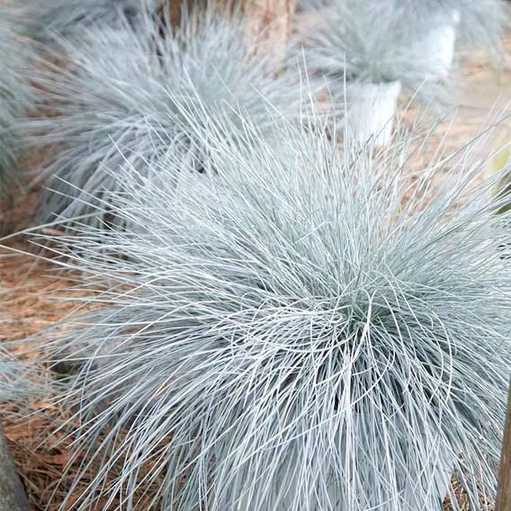 Festuca Plant - Intense Blue
