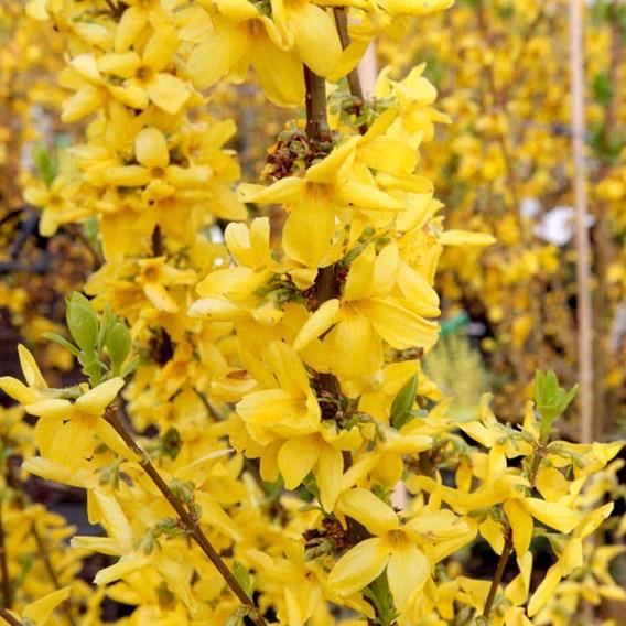Forsythia intermedia 'Goldrausch'