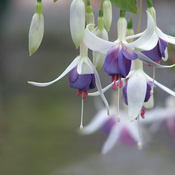 Fuchsia Hardy Plant - Delta's Sarah 2Ltr