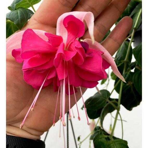 Fuchsia G.F.  Bella Rosella (6)