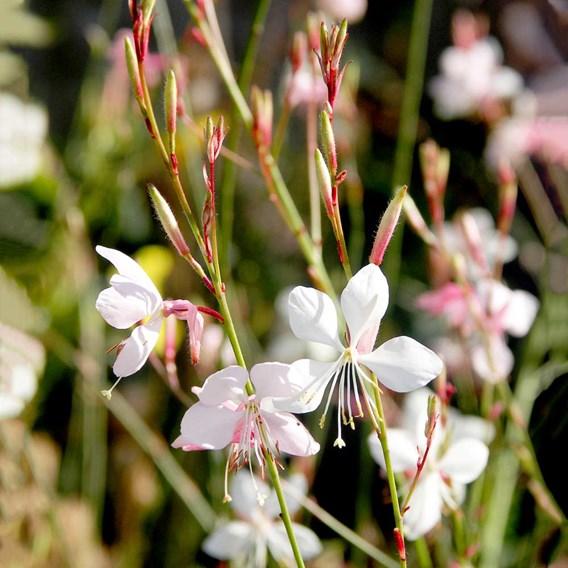 Gaura Seeds - The Bride