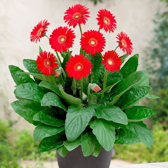 Gerbera Garvinea Sweet Love 2Ltr