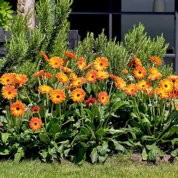 Gerbera Plant - Sweet Sunset