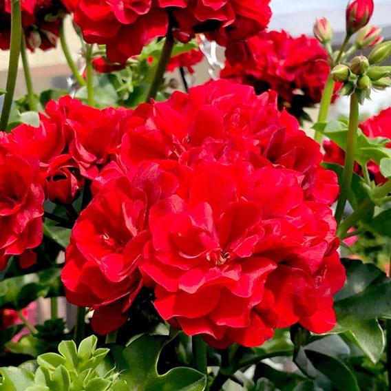 Geranium Great Balls of Fire Deep Red (6)