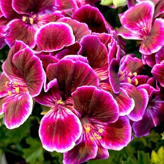 Geranium Megan Mosquitaway P9 x3
