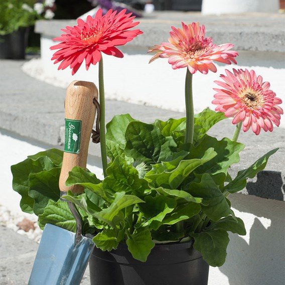 Gerbera Potted Plants - Cartwheel® Strawberry Twist