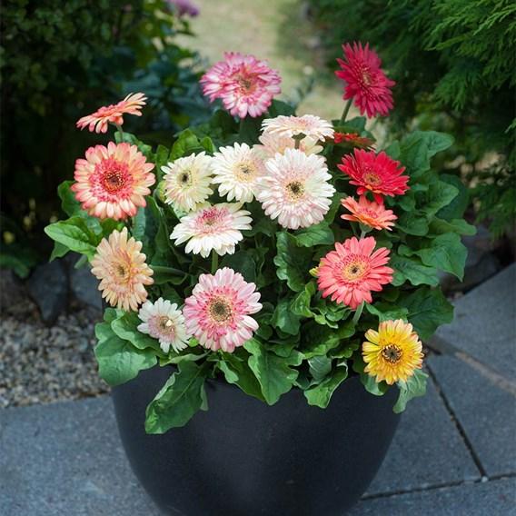 Gerbera Potted Plants - Cartwheel® Strawberry Twist