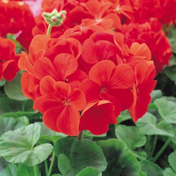 Geranium Palladium Red (10)
