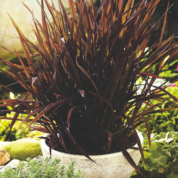 Prairie Seeds -Ornamental Grass  Black Madras