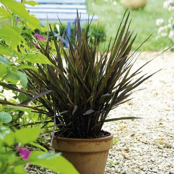 Prairie Seeds -Ornamental Grass  Black Madras