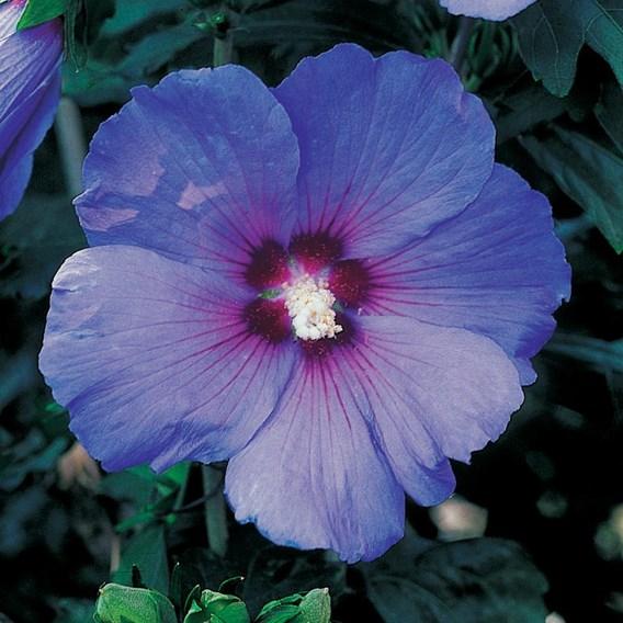 Hibiscus Syr. Marina (O.Bleu)