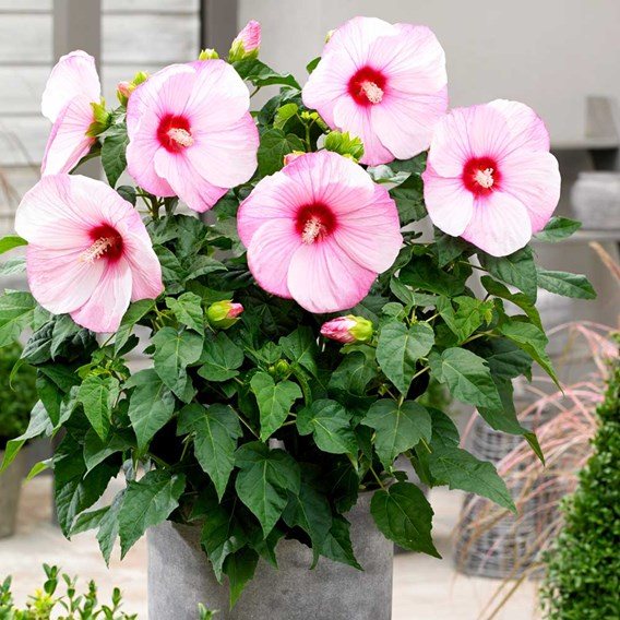 Hibiscus Extreme Hot Pink 2Ltr