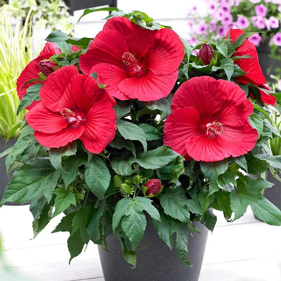 Hibiscus Extreme Oak Red 2Ltr