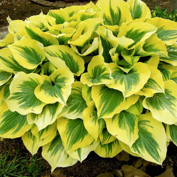 Hosta Potted Plant - Liberty