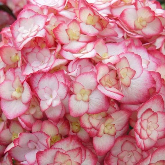Hydrangea macrophylla 'Miss Saori' 3Ltr