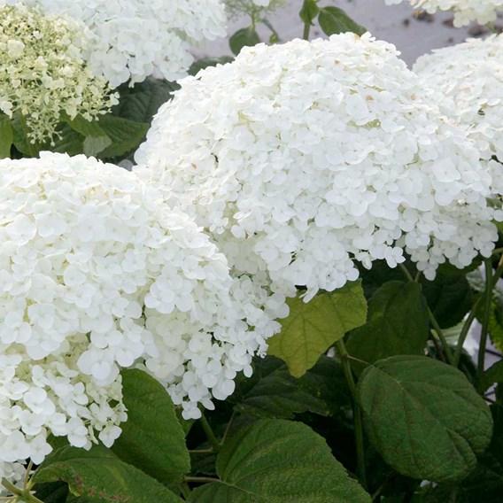 Hydrangea arborescens Plant - Annabelle