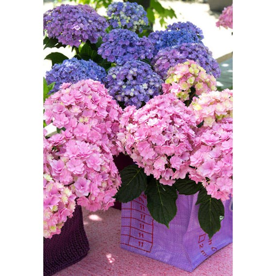 Hydrangea m. (You & Me) 'Together' PBR