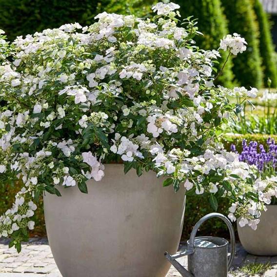 Hydrangea Plant - Runaway Bride